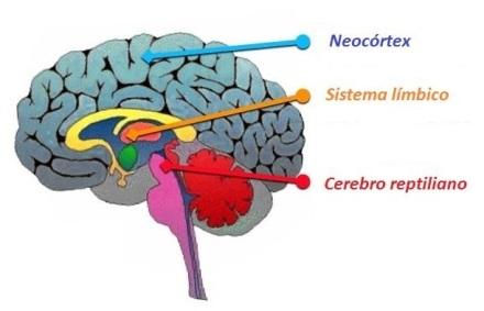 tres-cerebros-neocortex-limbico-reptialiano.jpg